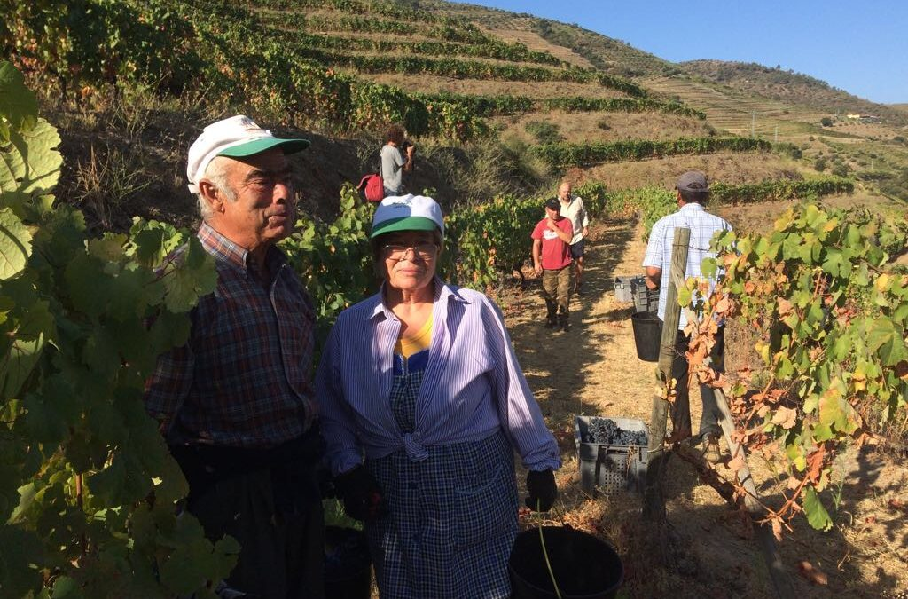 Grape harvest at Quinta do Espinho